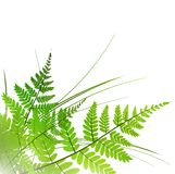 Fern frame. Fern with grass over white background, copyspace Stock Photo
