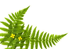 Fern frame. With small yellow flowers royalty free stock photos