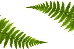 Fern frame. On whitw background stock images