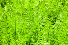 Fern fresh green nature background Stock Images