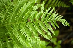 Fern frond Stock Images