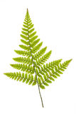 Fern frond Royalty Free Stock Photo