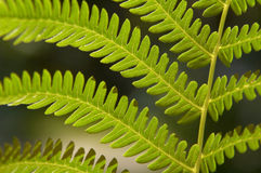 Fern frond. Close-up photograph of a fern leaf with backlighting Stock Photo