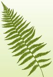 Fern Frond. A single detailed fern frond Stock Photo
