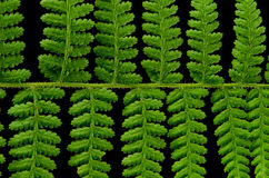 Free Fern Frond Royalty Free Stock Images - 34065789