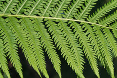 Fern Frond. Close up view of a green fern frond Royalty Free Stock Photography