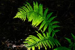 Backlit fern frond Stock Image