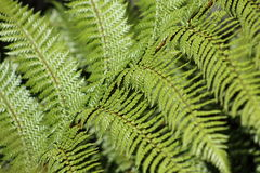 Fern Frond. Close up of a fern frond royalty free stock images