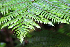 Fern Frond Stock Image