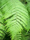 Fern Frond. Close up of green fern fronds Royalty Free Stock Images