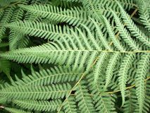 Fern Frond. Close up of green fern fronds Stock Image