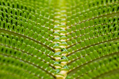 Fern frond. Close up of a fern frond in the Hawaii Volcanoes National Park on Big Island, Hawaii, USA Royalty Free Stock Images