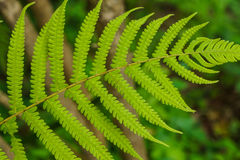 Fern Frond closeup Royalty Free Stock Image