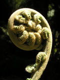 Fern frond fiddleheads Royalty Free Stock Photography