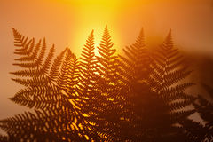 Fern frond in front of sunrise Royalty Free Stock Images