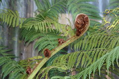 Fern frond. Green fern plant with bud frond unfurling Stock Images