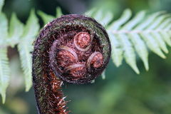Fern Frond Koru Stock Photos