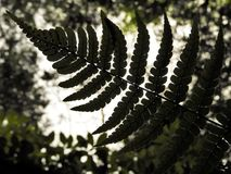 Fern Frond Silhouette im Baum-Laub Stockfotos