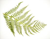 Fern Frond on White. Photo of a fern frond on a white background stock photography