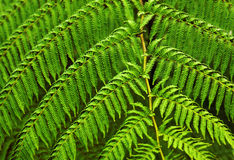 Fern fronds. Close-up photo of green fern fronds symmetrically aligned stock photos