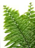 Fern fronds. Two green fern fronds as background stock photography