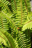 Fern fronds. On palms in a garden Royalty Free Stock Image