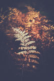Fern fronds - autumnal colors Royalty Free Stock Images