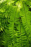 Fern Fronds. Close up of bright green fern fronds and water drops. The image is sunlit and has a shallow depth of field royalty free stock photo