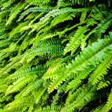 Fern fronds Stock Images