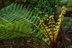 Fern Fiddleheads royalty free stock photos