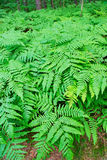 Fern fronds in the forest. Royalty Free Stock Photography