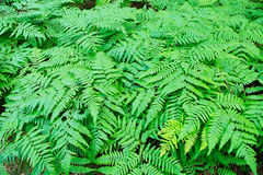 Fern fronds in the forest. Stock Image