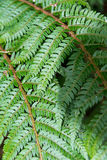 Fern fronds Royalty Free Stock Photo
