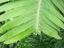 Fern Fronds Royalty Free Stock Photography