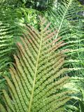 Fern Fronds Royalty Free Stock Images