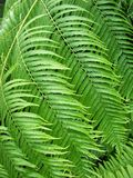Fern Fronds Stock Image