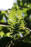 Fern fronds in sunlight. Two fern fronds, backlit by the sun on a green forest background stock images