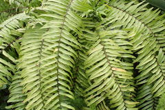 Fern Fronds Up Close Royaltyfri Foto