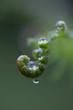 Fern fronds and water droplet Royalty Free Stock Images