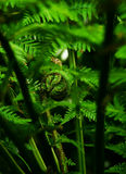 Fern frondulet. Coiled new leaf of a tree fern unfolding Royalty Free Stock Photos