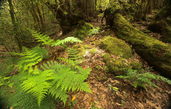 Fern in Garajonay national park Royalty Free Stock Photography