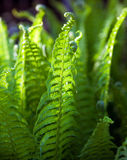 Fern  in   garden. Stock Photography