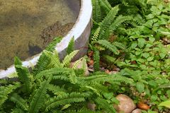 Fern Garden, Beautiful Fern Green Nature And Cement Pond In The Garden  Decoration Stock Photography