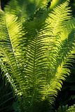 Fern in the garden Royalty Free Stock Image