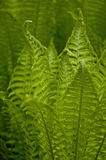 Fern. In the garden in spring Stock Photography