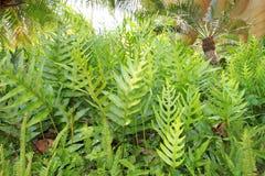 Fern garden. Tropical fern and cycad garden Royalty Free Stock Photos