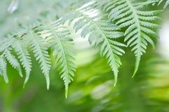 Fern ,Golden Moss or Chain Fern. Cibotium barometz stock images