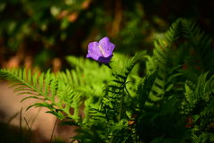 Fern. Green, autumn, forest, purple bell flower, a beautiful sunny day, a trip to the forest litter Stock Photos