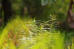 Fern in green background. A fern is any one or more of a group of roughly 12,000 species of plants belonging to the botanical group known as Pteridophyta Royalty Free Stock Image