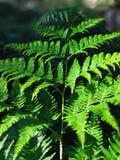 The fern. Green bracken fern Royalty Free Stock Image